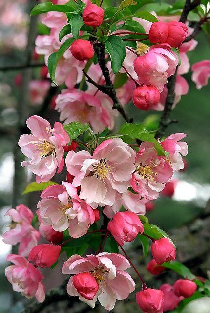 Cincinnati Spring Grove Cemetery Arboretum Crab Apple Tree Blooms Apple Flowers Apple Tree Flowers Blooming Apples