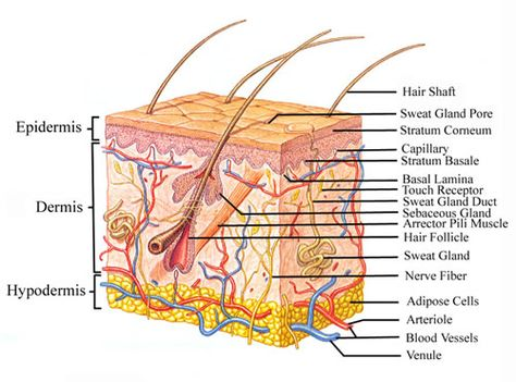 Show Pictures Integumentary System This Skin Diagram Clearly Shows