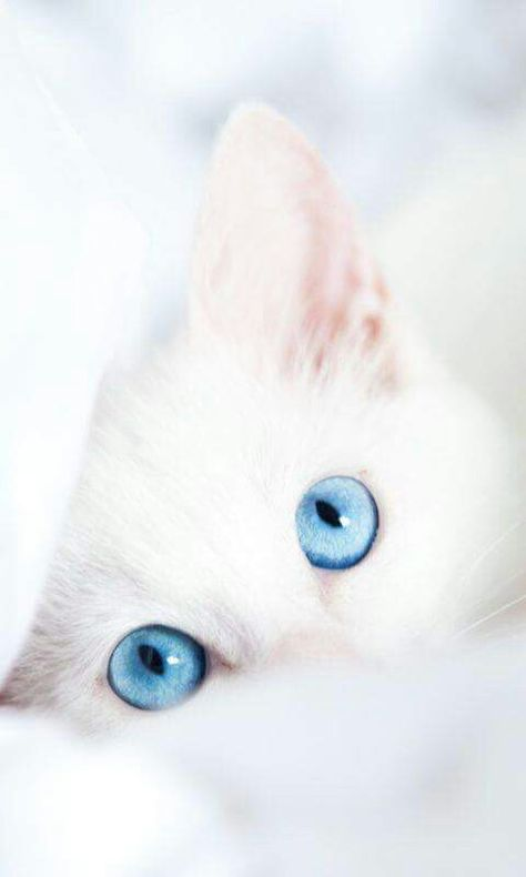 Blue Eyes AnimalsBirds Pinterest Blue Eyes Cat And Animal - This is pam pam the kitten with heterochromia with hypnotic eyes you just cant stop looking at