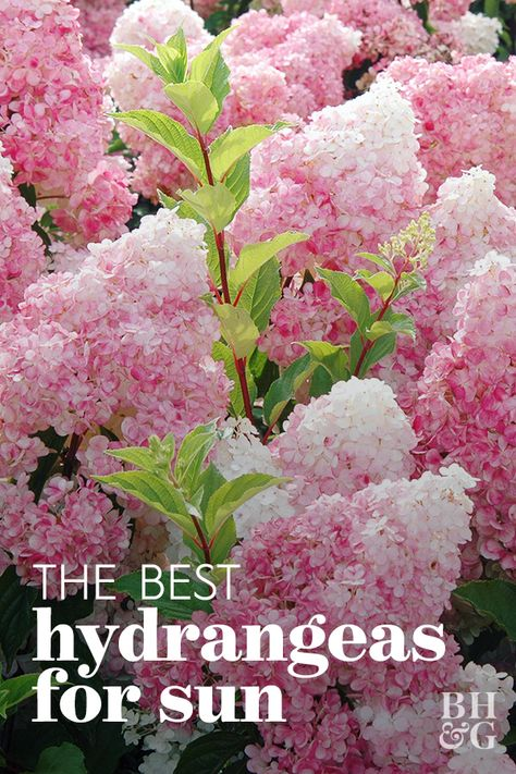 Gardening 56787645293209580 - There are so many types, colors, and shapes of hydrangeas. Knowing which varieties thrive in sun and which plant types prefer shade will help you determine the best hydrangea varieties for your yard. Source by bhg Hydrangea Landscaping, Front Yard Landscaping, Landscaping Plants, Garden Plants, Backyard Plants, Landscaping Design, Garden Yard Ideas, Lawn And Garden, Full Sun Garden