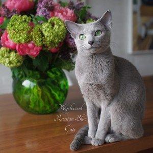 Wychwood Russian Blue Cats Uk