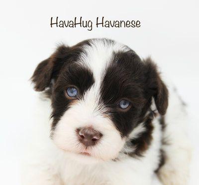 Baby Blue Eyes! HavaHug Havanese Chocolate Parti Puppy