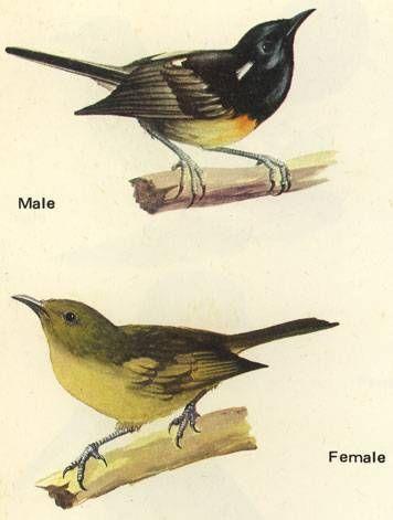 シロツノミツスイ Stitchbird, Hihi (Notiomystis cincta)