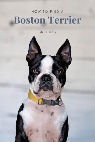 How To Find A Boston Terrier Puppy Boston Terrier Breeders