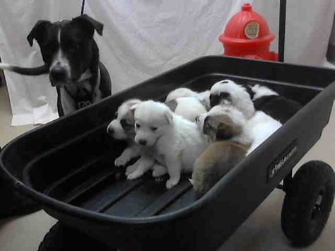 Texas Id A397444 Thru 451 Are A Border Collie Mix Momma Dog W Her Puppies Who Are All In Need Of A Loving Adopter Rescue At Harris County Public He