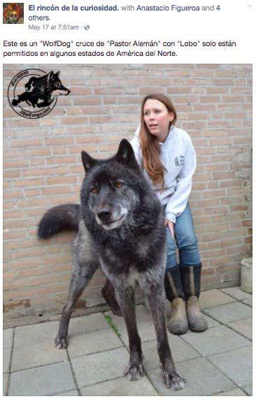 Hace Unos Dias Una Pagina De Facebook Publico La Foto De Una Exotica Variedad De Perros Wolf Hybrid Dogs Hybrid Dogs Wolf Hybrid