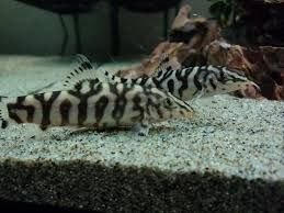 Image Result For Yoyo Loach Freshwater Aquarium Fish Aquarium Fish Freshwater Aquarium
