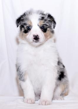 Australianshepherd Australianshepherdpuppy Charming Puppiesofpinterest Pinterestpuppies Lancaster Australian Shepherd Puppies Australian Shepherd Puppies