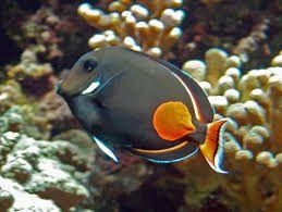 Image Result For Orange Shield Tang Marine Fish Sea Creatures Sea Fish Pelagic Fish