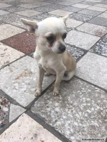 Pin Von Avelino Bojorquez Auf Rescue Adopt Chihuahua