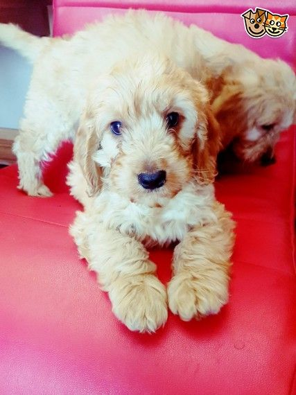 Lovely Cockapoo Puppies Derby Derbyshire Pets4homes