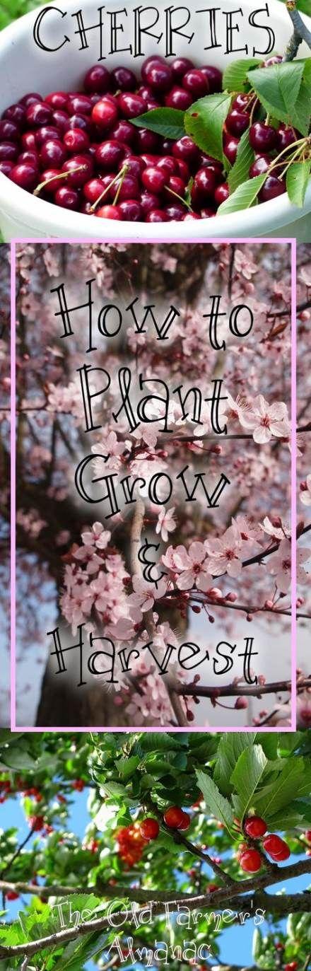 62 Ideas Cherry Tree Growing Growing Cherry Trees Cherry Trees Garden Growing Fruit Trees