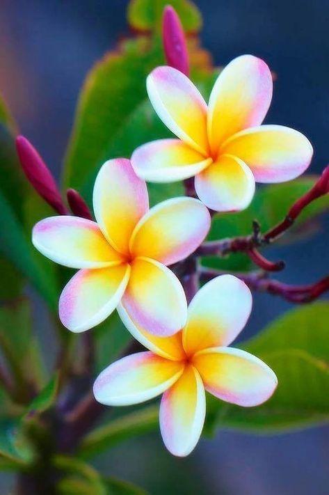 Fiori Tropicali.So Beautiful Fiori Hawaiani Fiori Tropicali Fiori Esotici