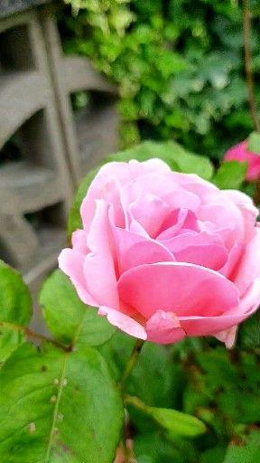 Rose in an Autumn Breeze
