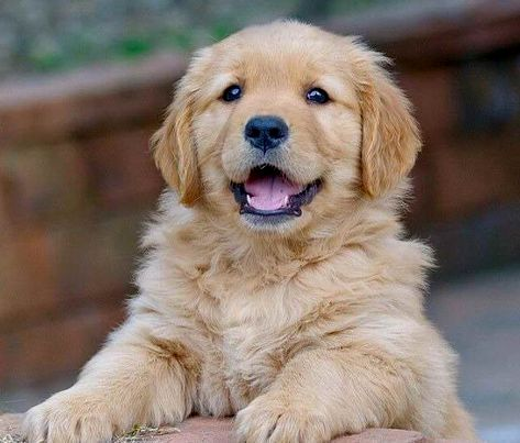 Pin By Mary S Picklesimer On Golden Retriever Dogs Retriever