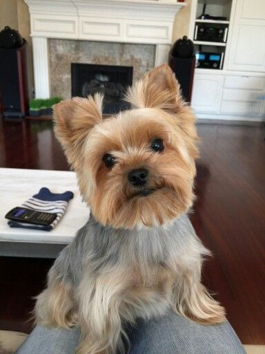 Wild West Yorkies Txyorkie Com Yorkie Puppies For Sale In Texas Past Puppies Black And Gold Yorkies Parti Yorkie Yorkie Puppy For Sale Yorkie Yorkie Puppy