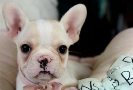 French Bulldog Puppies For Sale We Finance 90 Get Approved We