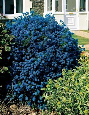 Céanothe 'Victoria'. Bel arbuste au feuillage persistant vert foncé se couvrant de petits épis de fleurs bleues durant tout l'été. Variété parfaitement résistante au froid.