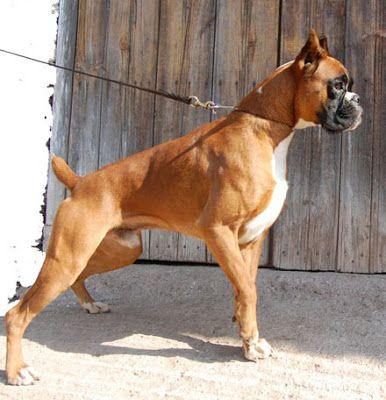 Boxer Razas De Perros Perros