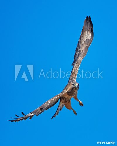 This Stockphoto Was Sold Today Adobestock Common Buzzard Buteo Buteo Bird Wildlife Dennisjacobsen Https Stock Adobe Com Dk S Musvage Billeder Udforske