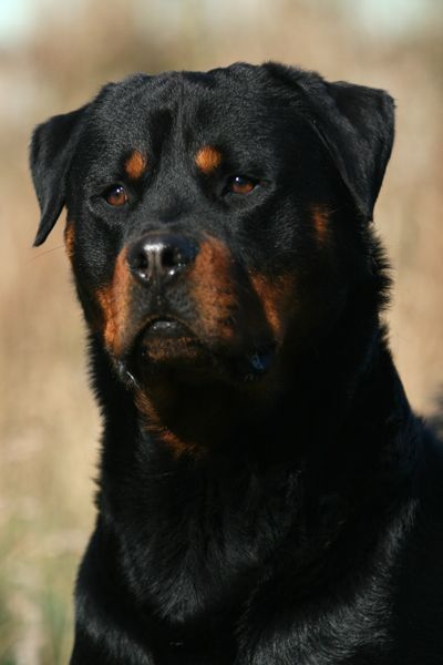 A Very Handsome Rottweiler Rottweiler Rottweiler Puppies Dogs