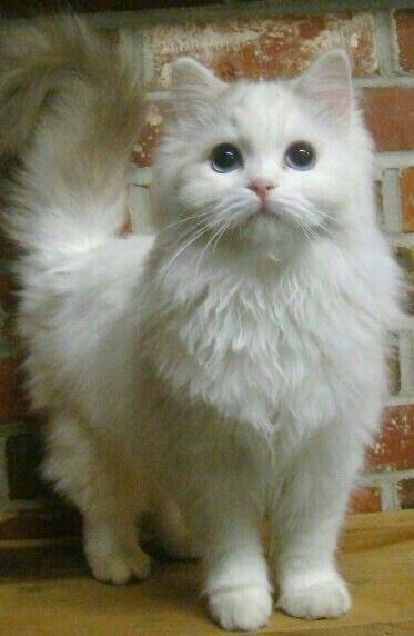 Adorable White Kitty With Images Fluffy Cat Breeds Pretty