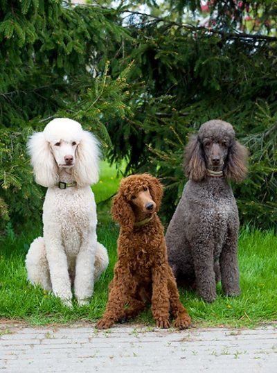 Pin By Big Barker Dog Beds On Charming Poodles Dog Breeds