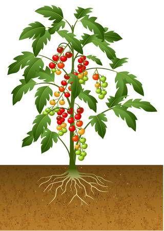 Ilustracion Del Vector De La Planta De Tomate Cereza Con Raices Bajo Tierra Plantas De Tomate Plantas Tomates Cherry Planta