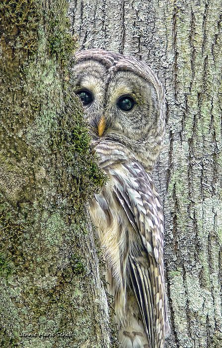 A shy Barred Owl bird peeks around a tree by photographer Jennie Marie Schell. Beautiful Owl, Animals Beautiful, Cute Animals, Wild Animals, Pretty Birds, Love Birds, Pretty Baby, Photo Animaliere, Photo Book