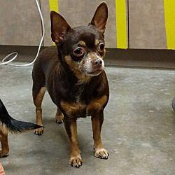 Ottawa Kansas Chihuahua Meet Brownie A For Adoption Https