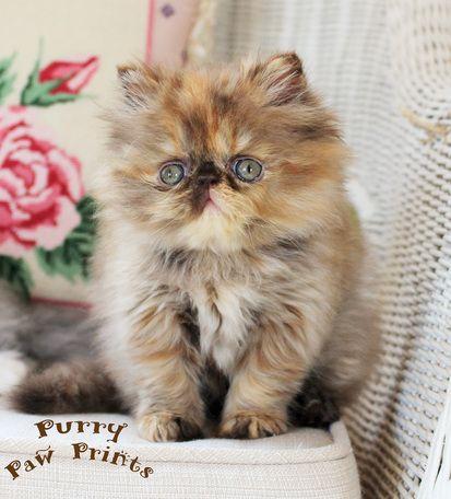 Ch Victoriangdn S Hot Chocolate Iris A Rare Extreme Face Chocolate Tortoiseshell Persian Persian Kittens Persian Cat Persian Kittens For Sale