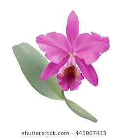 Image Result For Vector Diagram Cattleya Orchid Illustration Cattleya Orchid Cattleya