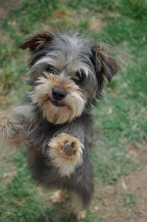 Adopt Me I M A Morkie Girl At A No Kill Shelter In Memphis Tennessee Dogs Animals Tennessee