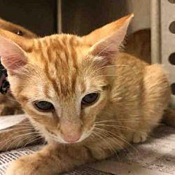 Texas City Tx Domestic Shorthair Meet A013371 A Cat For Adoption Kitten Adoption Pets Cat Adoption