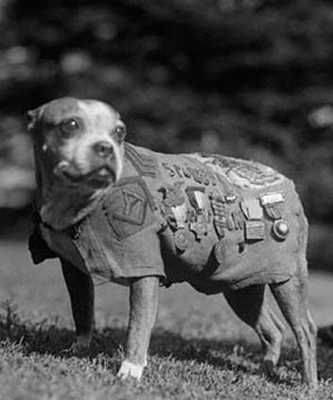 Sargent Stubby, first dog to fight for our country in WW1, a pit bull, it's a shame what people have done to this breed.