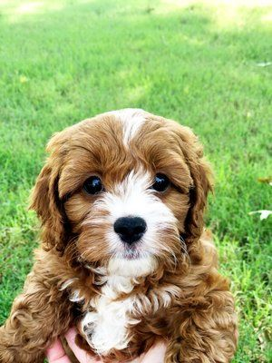 Contests 100 Weekly Giveaways And Prizes Cavapoo Puppies