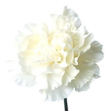 Five Facts That Nobody Told You About White Carnations Near Me White Carnations Near Me Https Ift Tt 360bx White Carnation Carnation Flower Pink Carnations