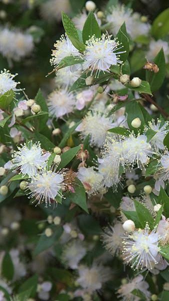 Myrtus Communis Myrtle Flowering Shrubs For Sale Plant Sale Myrtle