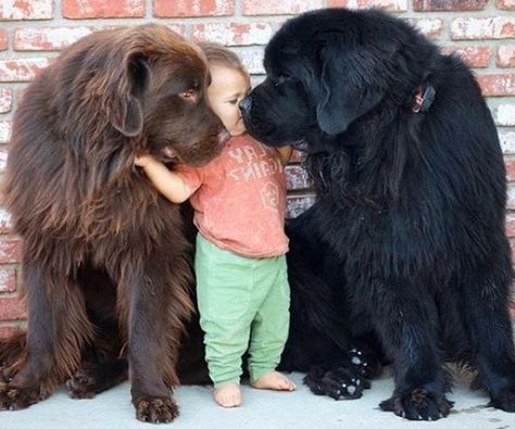 Razas De Perros Terranova ♥♥   perros de razas   Perros