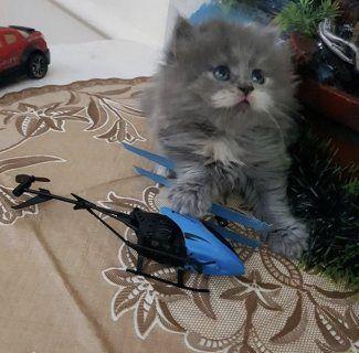قطط للبيع في دبي قطوة مؤنثة لعوبة و مرة كيووووت و مرة نظيفة و مطعمة عندها ٥ اسابيع فقط للتواصل واتساب 0507750701 Cats Animals