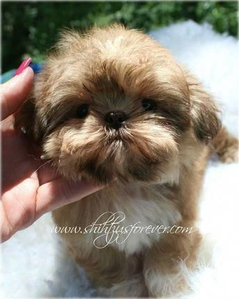 Imperial Shih Tzu Puppies For Sale Available Imperial Shih Tzu