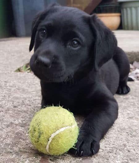 Verlieben Sie Sich In Labrador Mit Bildern Von Labrador Welpen Black Chocolate Und Yellow Labs In 2020 Black Labrador Puppy Lab Puppies Black Lab Puppies