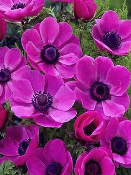 Anemone De Caen Anemone Des Fleuristes Sylphide Anemone