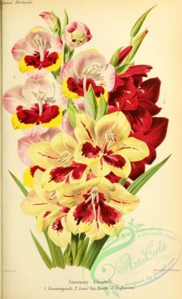 Flowers 28048 Gladiolus 2998x4920 Nice Old High Pre 1923 Flower Victorian Supplies Clipart Vintage Scan Free Instant Plants Flowers Pictorial Pages Scrapboo