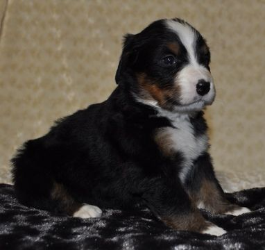 Bernese Mountain Dog Puppy For Sale In Atwood Il Adn 71616