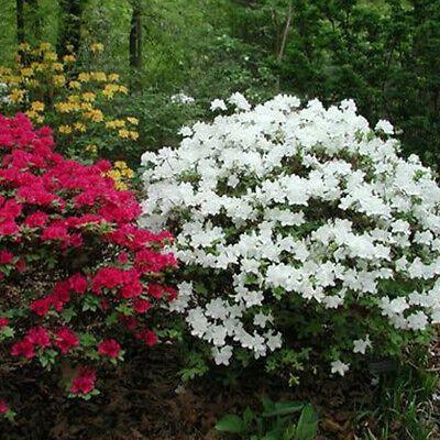 1 X White Azalea Japanese Evergreen Shrub Hardy Garden Plant In Pot Ebay In 2020 Evergreen Shrubs Shrubs Planting Shrubs