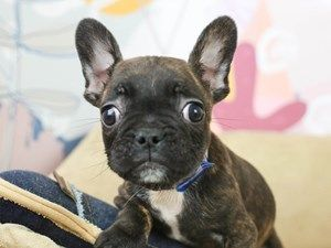 Available Puppies For Sale Phoenix Tucson Arizona Animal Kingdom In 2020 Puppies For Sale Puppies Animals