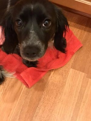 Rarity Adoptable Dog Young Female Dachshund Dog Adoption