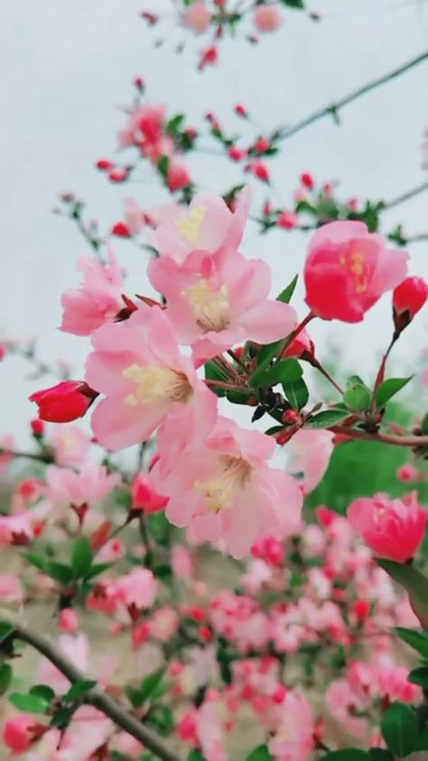 Beautiful Peach Blossom Spring Branches inviting views live