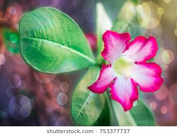Pink Azalea Flowers Azalea Flower Pink Azaleas Azaleas